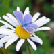A common blue butterfly on a daisy