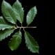 Chestnut Oak Leaves