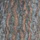 Scarlet Oak Bark