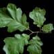 Black Oak Leaves