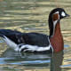 This very beautiful bird is a very rare wanderer from Siberia with distinctive black, chestnut and white markings. At 22 inches in length, it's the smallest goose that visits Britain.