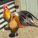 The tail feathers of the Phoenix rooster can be over 2 feet long!