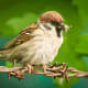 A tree sparrow on barbed wire