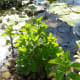 Be sure that the leaves of terrestrial mint is not submerged. Here the pot was placed in pond so the leaves are sticking out of the water.