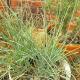 Multiple chive plants