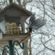 Hairy Woodpecker Taking Flight