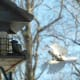 Downy Woodpecker and Tufted Titmouse