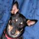 Australian Kelpie Dog Used by permission.