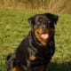 how-to-raise-a-well-trained-non-aggressive-rottweiler