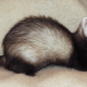 Ferrets are playful and mischievous pets - ferrets are not rodents, however.