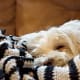 Maltese are especially adept at sleeping on the couch.