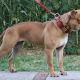 The Leavitt Bulldog or Olde English Bulldogge—a recreation of the extinct Old English Bulldog.