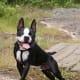 Happy Boston terriers have no reason to bark.
