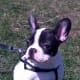 French bulldogs do not bark much even when awake.