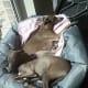 When Italian greyhounds sleep, they do not bark.