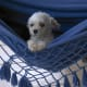 White toy poodles look good in a hammock.