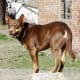 If there are no sheep to stand on, a Kelpie might be anywhere.