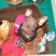 That same Boston Terrier puppy after several weeks of treatment.