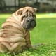 Shar Peis like to rest after playing.