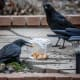 We wanted to find out what crows were willing to go through to get to one of there favorite snacks - peanuts.  So, we put several in a plastic container and put it out in the yard. They circled it, then got them all one by one.