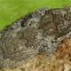 Retic. Gargoyle Gecko