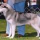 Siberian showing a medium/dark grey coat.