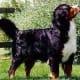 A Bernese Mountain Dog.