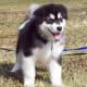 An Alaskan Malamute puppy.