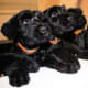 Giant Schnauzer puppies.