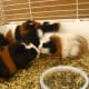 Avoid being overrun by a herd of guinea pigs by keeping male and female guinea pigs apart.