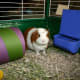 A large tube is often used for entertainment and shelter for guinea pigs.