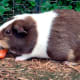 Carrots, apples and corn cobs are a guinea pig's favourite fruits and vegetables.
