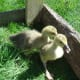 Goslings enjoying the grass and sunshine.