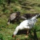 Geese eating peaches in the orchard