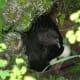 Broody Black Sumatra