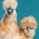Non-bearded and Bearded Silkie