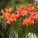 Asiatic Lilies come in many colors and varieties.