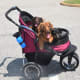 You can take a dog with a back injury out for a stroll in a secure doggy stroller.