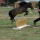 Jumping your miniaure horse has become quite popular