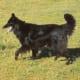 Belgian shepherd dog (Groenendael variety)