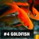 4. Goldfish
