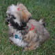 Shih tzu puppies are easy to groom.