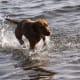 A Vizsla enjoying the water.