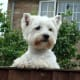 And, of course, West Highland Terriers need time to hang out and just check things out.