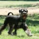 Your Miniature Schnauzer can make a great dog for the kids, with plenty of exercise.