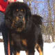 The Tibetan Mastiff as an adult.