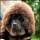 Tibetan mastiffs may be the most expensive breed in the world.