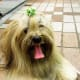 The Lhasa Apso is a great choice.