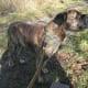 Brindle mastiff
