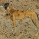 Brindle greyhound
